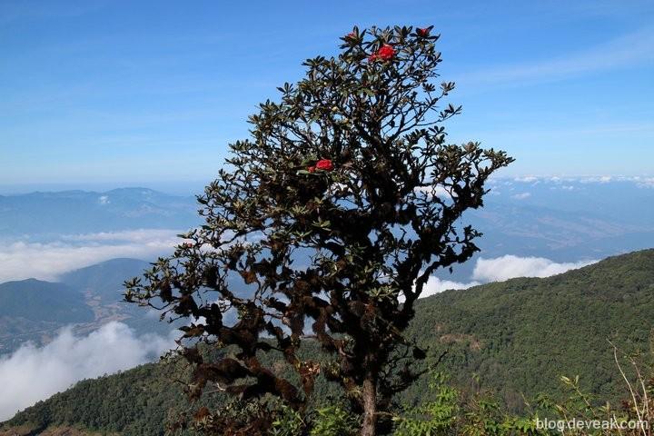 ต้นกุหลาบพันปี